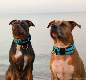 Double Turquoise Custom dog collar with handle