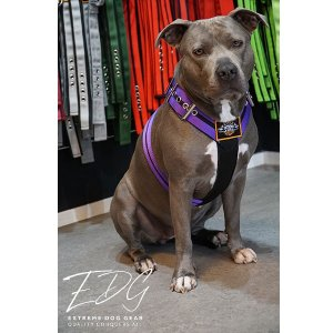 Custom dog harness 2 inch double purple by extreme dog gear
