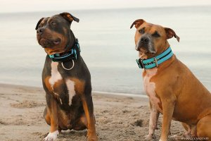 Double Turquoise Custom dog collar extreme dog gear