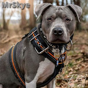 mr skye amstaff glow dog harness